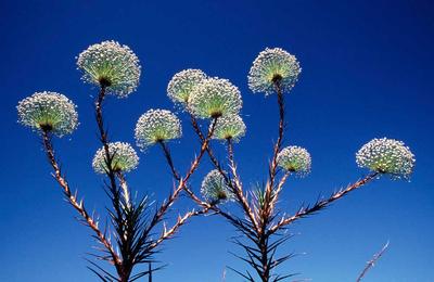 'Paepalanthus Flowers'