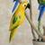 Wood decorative accents, 'Delightful Parrots' (set of 5) - Wood Parrot Decorative Accents from Brazil (Set of 5) (image 2d) thumbail