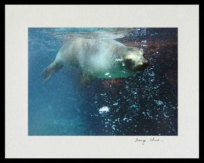 Galapagos Sea Lion Bubbles Color Photograph