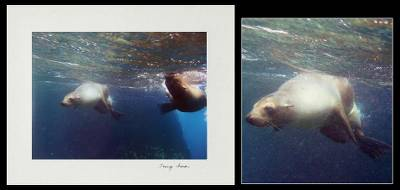 'The Race' - Racing Sea Lions Color Photograph