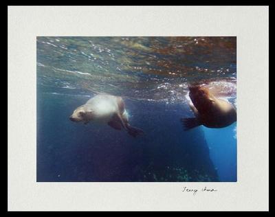 Racing Sea Lions Color Photograph
