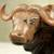 Ebony wood statuette, 'African Buffalo' - Polished Ebony Wood Statuette of Horned Cow from Ghana (image 2c) thumbail