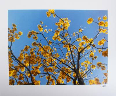 'Yellow Tree' - Golden Trumpet Tree Original Signed Color Photograph
